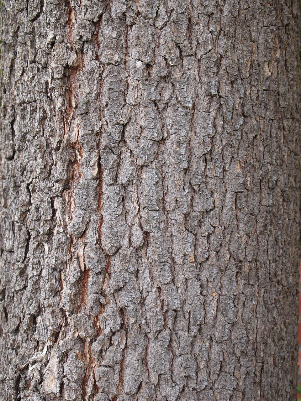 Camphor-bark