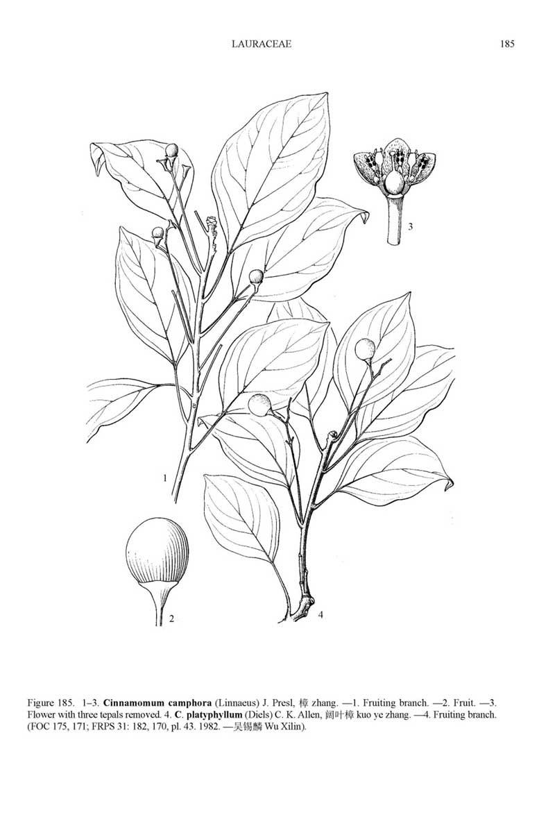 Camphor-drawing