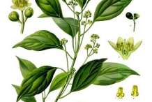 Camphor-illustration