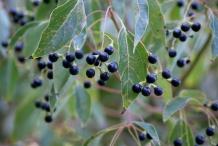 Camphor-berries