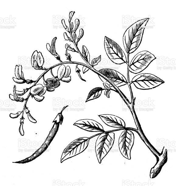 Plant-illustration-of-Camwood