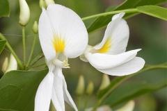 Flower-of-Camwood