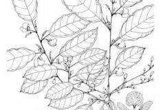 Sketch-of-Camwood