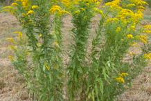 Canadian-goldenrod-Plant