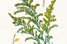 Canadian-goldenrod-plant-Illustration