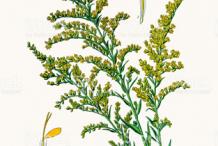 Canadian-goldenrod-plant-Illustration