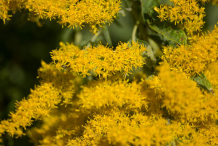 Closer-View-of-Canadian-goldenrod-Flower