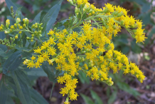 Flower-of-Canadian-goldenrod
