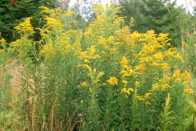 Canadian-goldenrod-Plant-growing-wild