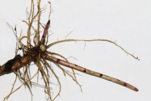 Roots-of-Canadian-goldenrod