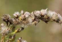 Seed-head-of-Canadian-goldenrod