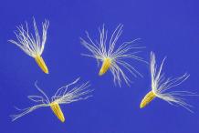 Seeds-of-Canadian-Goldenrod