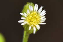 Flower-of--Canadian-Horseweed