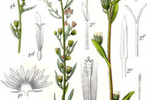 Canadian-Horseweed-Plant-Illustrations