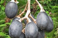 Canarium-Almond-fruits