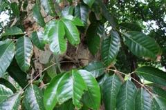 Canarium-Almond-leaves