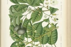 Canarium-Almond-plant-illustration