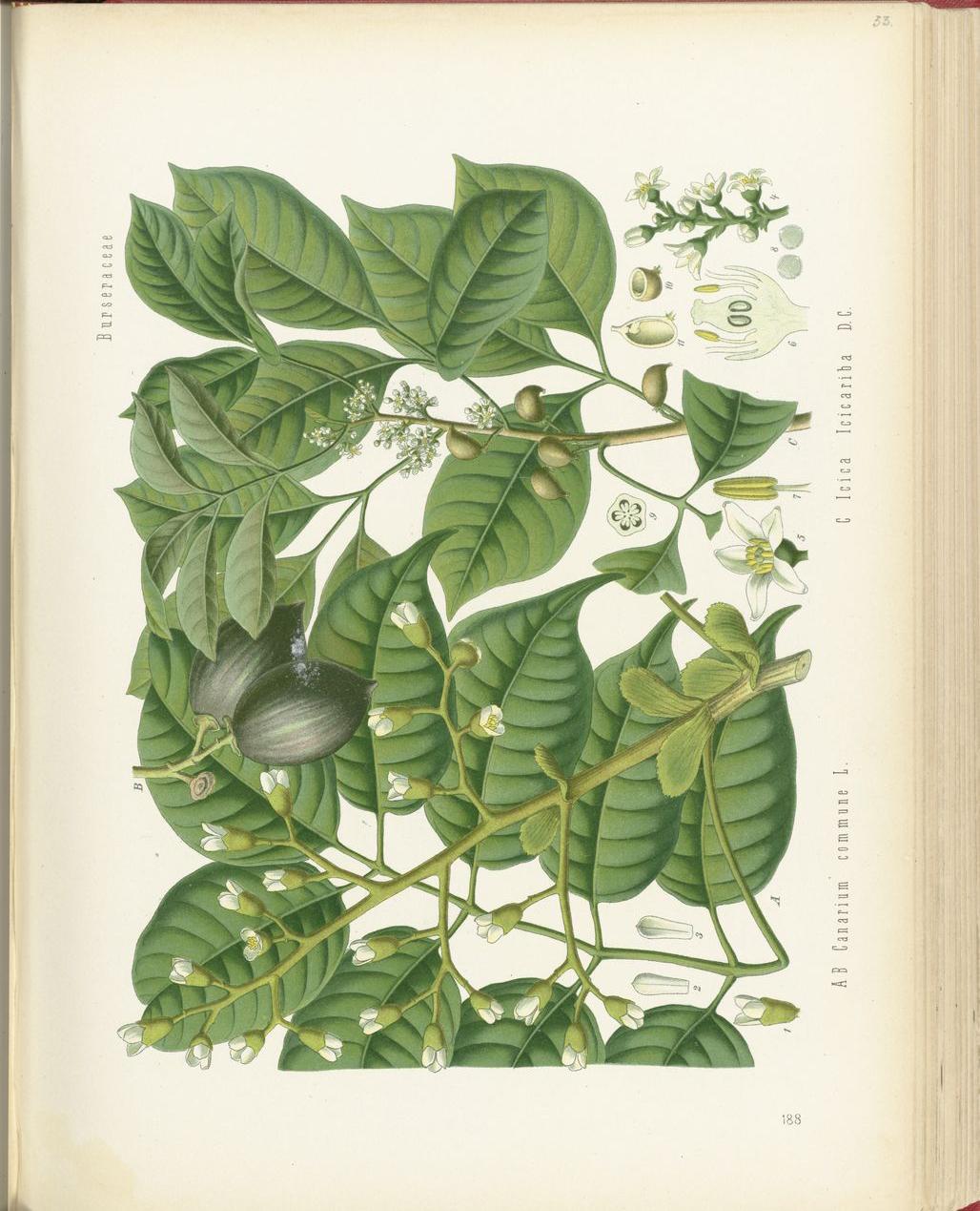 Java-Almond-plant-illustration