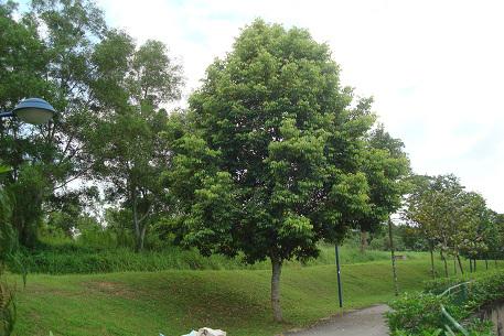 Java-Almond-tree