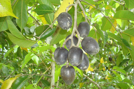 Ripe-fruits-of-Java-Almond