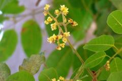 Java-Almond-flowers