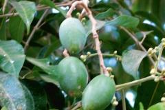 Java-Almond-fruit
