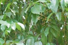 Java-Almond-leaves