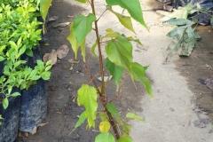 Java-Almond-plant