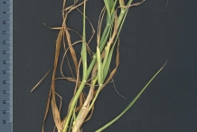 Whole-plant
