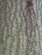 Bark-of-Candlenut-tree