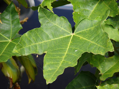 Leaves-of-Candlenut-tree