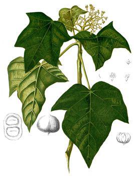 Plant-Illustration-of-Candlenut