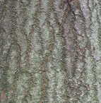 Bark-of-Candlenut-tree