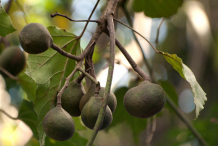 Candlenut-Fruit-on-the-tree