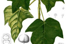 Plant-Illustration-of-Candlenut