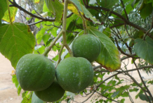 Unripe-fruit-on-the-tree