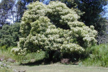 Candlenut-plant