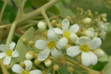 Closer-view-of-flower-of-Candlenut-tree