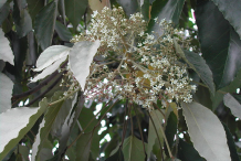 Flowers-of-Candlenut-tree