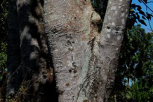 Trunk-of-Candlenut-tree