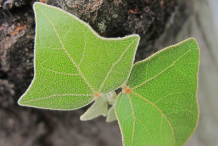 Young-Leaves-of-Candlenut