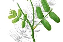 Illustration of Candlestick plant