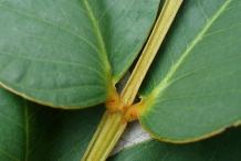 Stem-of-Candlestick-plant