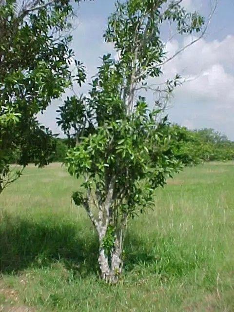 Canella-plant