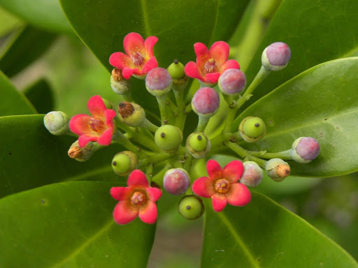 Flowers-of-Canella