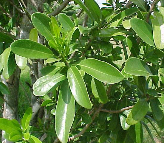 Leaves-of-Canella