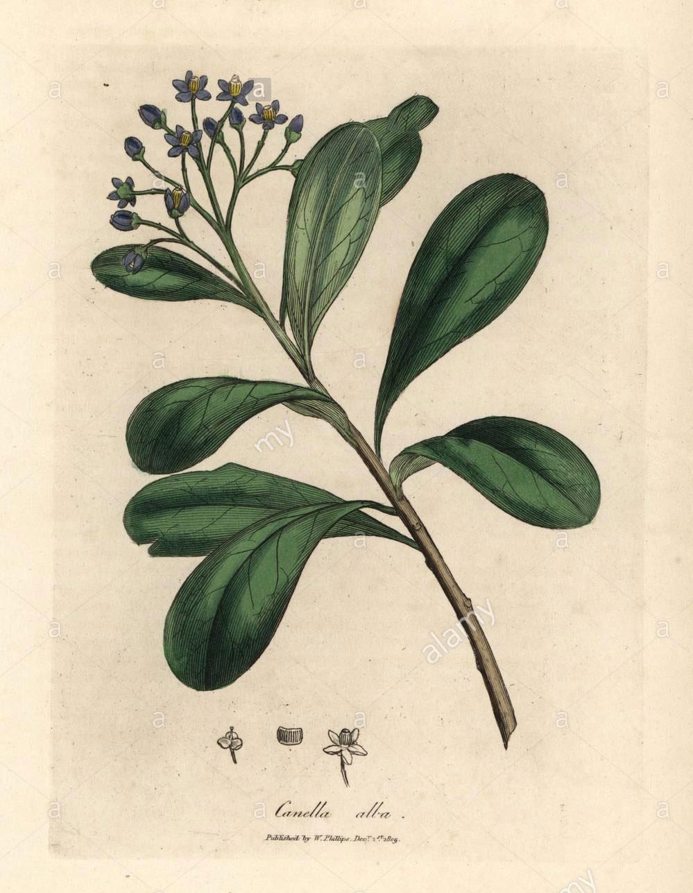 Plant-Illustration-of-Canella