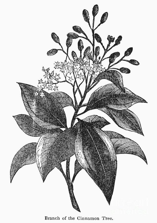 Sketch-of-Canella