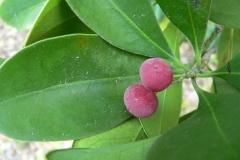 Fruits-of-Canella