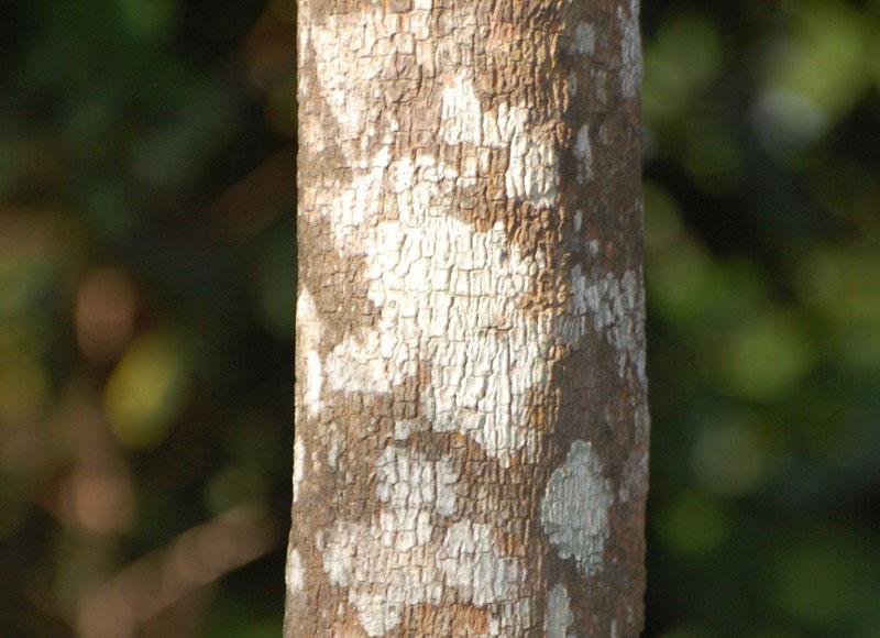 Bark-of-Canistel-tree